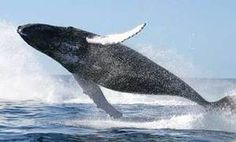 Right Whales Arrive in Argentina