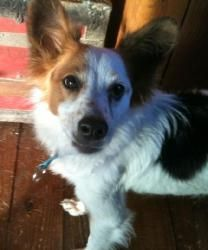 Max - Island Dog is an adoptable Shetland Sheepdog Sheltie Dog in Ravenna, OH. You can fill out an adoption application online on our official website. This is Max and he is in desperate need of a for...