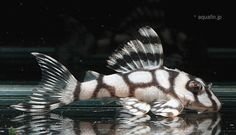catfish aquariums - Google Search                                                                                                                                                                                 More