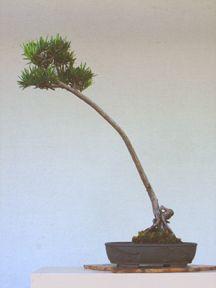 Podocarpus Bonsai, Bonsai Trees, Greenery, Gardening, Building, Mini, Plants, Decor, Decoration