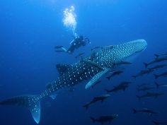 Finalement, le nombre d'individus composant l'espèce, dont les 3/4 vivent dans le bassin Indo-Pacifique tandis que le reste se trouve dans l'Atlantique a chuté de plus de 50 % au cours des 75 dernières années.