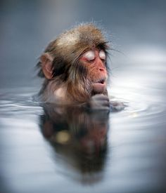 Ben Torode / Rex Features    If this young monkey's reaction to slipping into a warm bath is anything to go by, these primates really are like humans. The juvenile Japanese snow monkey was photographed enjoying the famous hot springs at Jigokudani monkey park in Nagano.