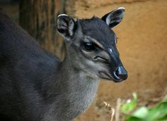 Blue Duiker(Philantomba monticola) photographed by Bart Wursten in Zimbabwe on September 2005 Kwazulu Natal, Walk In The Woods, Leopards, Livestock, Farm Life, Predator, Farm Animals, Mammals, Wildlife