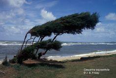 Casuarina_equisetifolia_KAU.jpg (669×450)
