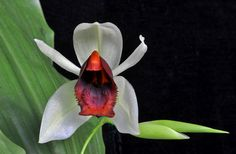 https://flic.kr/p/7h4E9Q   Coelogyne usitana   A recent discovery(2001) from the Philippenes. Easy to grow produces flowers in succession over a long period.