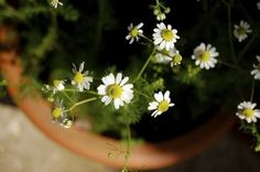 Chamomile Care Indoors: Learn How To Grow Chamomile Indoors - While it will thrive outdoors, chamomile will also grow very well indoors in a pot. Learn more about how to grow chamomile indoors using the information found in this article. Click here for additional info.