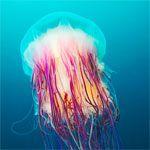 astounding photograph of jellyfish by Russian biologist Alexander Semenov