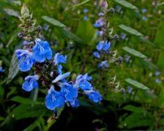 Salvia uliginosa Salie_Hobbykwekerij De Jagertjeshof Aadorp