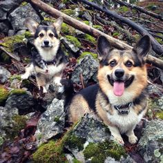15 Father/Daughter Dog Pairs Just In Time For Father's Day Welsh Corgi Pembroke, Love You Dad, Father Daughter, Mans Best Friend, Belle Photo, The Great Outdoors, Fathers Day, Dogs And Puppies, Cute Animals