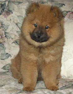 Chow Chow Puppies Breeders Chows