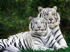 images of big cats | Save the big cats White tigers