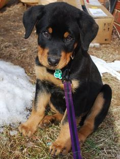 Rottweiler Puppy I will have one even if I have to sneak it past the hubby