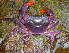 Cangrejos púrpuras de Filipinas (cuatro nuevas especies)  El Museo de Zoología de Senckenberg (Alemania) acaba de anunciar el descubrimiento de cuatro nuevas especies de cangrejos de agua dulce en la isla de Palawan (Filipinas).  La característica más llamativa de las nuevas especies es el brillante color púrpura de sus caparazones.