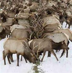 Winter Feeding - at the Elk Refuge in Jackson Hole, Wyoming Bull Elk, Yellowstone Park, Deer Family, Elk Hunting, Ranch Life, Wild Nature, Jackson Hole, Animals Beautiful, Pet Birds