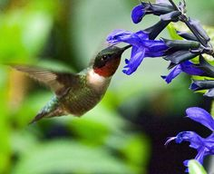 My hummingbirds loved the black and blue salvia and even though they say it's a annual for central Texas, mine came back in full bloom but the 2 months of 100+ weather finally did them in.