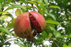 Pomegranate, Apple, Fruit, Image, Food, Apple Fruit, Grenada, Hoods, Meals