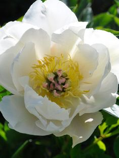 The semi-double, white flowers from deep cups around a centre of soft yellow stamens and white carpels. Not the easiest Intersectional peony to grow. All Plants, Types Of Plants, Claire Austin, Tree Peony, Plant Order, Root System, Day Lilies, Silk Painting, Emperor