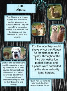 An alpaca is a domesticated species of South American camelid. It resembles a small llama in appearance. There are two breeds of alpaca; the Suri alpaca and the Huacaya alpaca. #glogster #glogpedia #alpaca