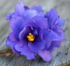 purple-wonder african violet