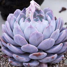 Instagram photo by Korea Succulent Plants Store • Apr 25, 2016 at 12:44am UTC