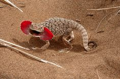 Phrynocephalus mystaceus, or Toad-headed Agama Lizard, likes to scare predators with a pair of extendable mouth-flaps. Rare Animals, Unique Animals, Animals And Pets, Geckos, Reptiles And Amphibians, Mammals, Beautiful Creatures, Animals Beautiful, Chameleon Lizard