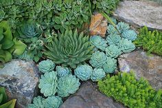 Echeveria elegans and E. pulv-oliver with Aloe polyphylla and Sedum Angelina, via Flickr.