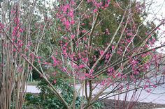 A few years ago, during the month of February I was visiting a friend's garden in Suffolk and encountered a well-flowered specimen shrub of Prunus mume 'Beni-chidori'. Perhaps it was the striking deep, purplish-pink flowers that caught my eye in the first instance, but the sensuous waft of fragrance that met my nose was a …