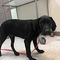 New York, New York - Labrador Retriever. Meet Sampson (G), a for adoption. https://www.adoptapet.com/pet/21259481-new-york-new-york-labrador-retriever-mix