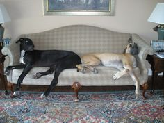 There's room to sit.... right? #greatdane #dog