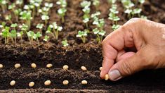 Top 15 Modern Homesteading Skills You Need To Know seeds Growing Green Beans, Growing Peas, Growing Greens, Growing Veggies, Garden Seeds, Planting Seeds, Growing Plants From Seeds, Sage Plant, Succession Planting