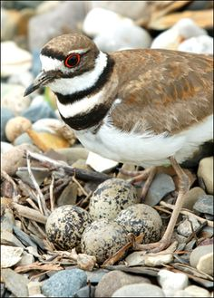 **Killdeer(Charadrius vociferus). Kildeer will feign injury as to steer predators(including humans) away from their nest and young. ~ ♥♥