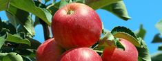 Bio Alma Mihályi Apple, Fruit, Food, Apple Fruit, Eten, Meals, Apples, Diet