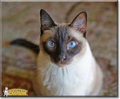 Read Caspion the Chocolate Point Siamese's story from California and see his photo at Cat of the Day http://CatoftheDay.com/archive/2012/November/02.html .