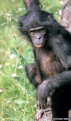 Bonobo genome a lot like human