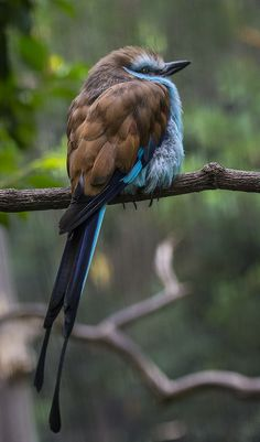 Racket-tailed Roller Bird - Lives in Africa - from Helloyou52.