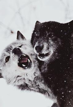 Funny Wildlife, Wolf Play