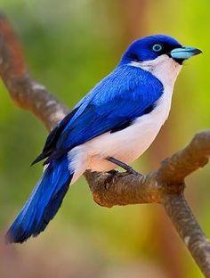 Blue Vanga of Madagascar • photo Dubi Shapiro on pbase