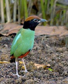 Photograph Hooded Pitta by Allan Seah on 500px