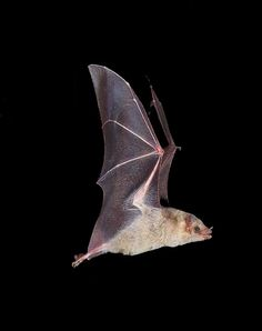 One bat can eat 1000 mosquitos in ONE hour! They have a bad reputation ...many more dogs cause rabies cases than bats (more reason to vaccinate dogs), see batcon.com for cool info about the only flying mammal. So cute, they look like PUPPIES! xoxo