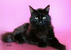 Carson is an adoptable Domestic Long Hair-Black Cat in York, NE. Carson arrived 6-6-2013.� He was found on a country road.� He is such a beautiful cat with a sweet and loving personality. Call LaMoine...