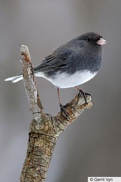 Dark-eyed Junco - | Birds of North America Online