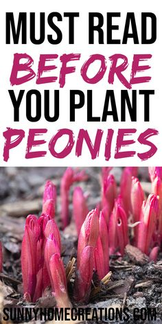 Read this guide about how to plant and grow peonies in your backyard flower garden.  Peonies have beautiful, fragrant flowers and are perfect for your landscaping or yard.  #peonies #howtoplantpeonies #howtogrowpeonies