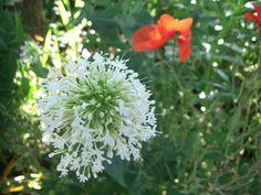 White valerian and scarlet poppies Scarlet, Poppies, Garden Design, Dandelion, Flowers, Plants, Dandelions, Poppy, Landscape Designs