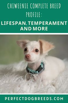 Chiweenie dogs and puppies are absolutely adorable. This post by Perfect Dog Breeds tells you all about their behavior when they are fully grown, their lifespan, temperament, and so much more. Check out this post it you want to learn about this cute little dogs now. #chiweenie #chiweenielifespan #chiweenieinformation #aboutchiweenies #chiweenieguide