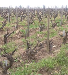 Old Gamay Vines at Lapierre in Beaujolais.