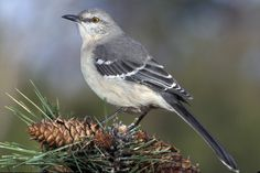 The northern mockingbird (Mimus polyglottos) is the state bird of Arkansas. This bird's famous song, with its varied repetitions and artful imitations, is heard all day during nesting season - and sometimes all night as well. It was often captured for sale as a pet from the late 1700s to the early 1900s.