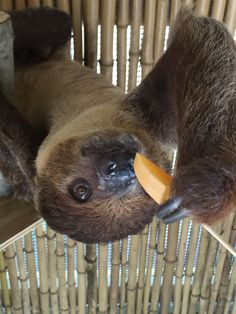 Have you ever fed a sloth? You can at the Alabama Gulf Coast Zoo. Alabama Gulf Coast Zoo, Gulf Shores Alabama, Sloth, Tours, Sloth Animal, Sloths
