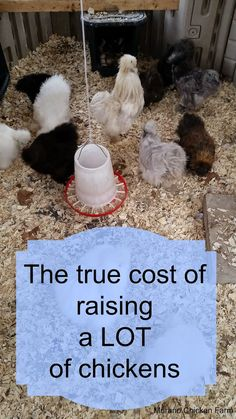 Murano Chicken Farm: How much does it cost to raise chickens? The true cost of raising 80 chickens.it's more expensive than I thought! Raising Backyard Chickens, Keeping Chickens, Pet Chickens, Backyard Farming, Urban Chickens, Backyard Poultry, Rabbits, Building A Chicken Coop, Mini Farm