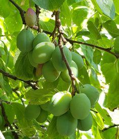 På høy tid å tynne plommer nå for søtere og større frukt Food And Drink, Fruit, Gardening, Compost, Lawn And Garden, Horticulture
