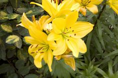 Yellow stamened flowers in garden